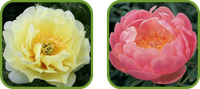 Intersectional and Herbaceous Peonies