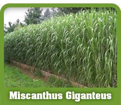 miscanthus-header